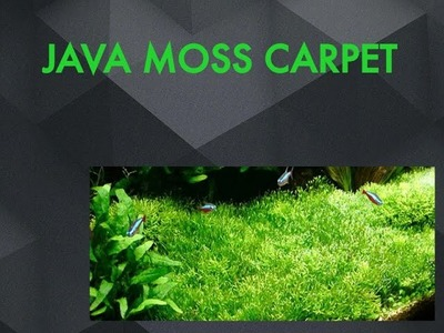 Ковёр из яванского мха. Java moss carpet DIY